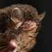 Fraternal Myotis - Photo (c) Manuel Ruedi, some rights reserved (CC BY-NC)