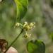 Cynanchum unifarium - Photo (c) blake hendon,  זכויות יוצרים חלקיות (CC BY-NC)