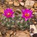 Escobaria hesteri - Photo (c) Ad Konings, algunos derechos reservados (CC BY-NC)