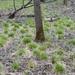 Carex bromoides - Photo (c) Sarah Johnson, algunos derechos reservados (CC BY)
