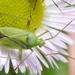 Calocoris affinis - Photo (c) Konrad Zobel, algunos derechos reservados (CC BY-NC-ND)