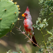 Pyrrhuloxia - Photo (c) John Eppler, some rights reserved (CC BY-NC)