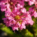 Erica seriphiifolia - Photo (c) Rebecca Ryen, algunos derechos reservados (CC BY-SA)