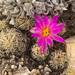 Escobaria minima - Photo (c) Ad Konings, algunos derechos reservados (CC BY-NC)
