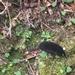 Urotrichus talpoides - Photo (c) jonibaum,  זכויות יוצרים חלקיות (CC BY-NC)