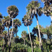 Cabbage Palmetto - Photo (c) palmlover, some rights reserved (CC BY-NC)