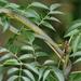 Dendrelaphis - Photo (c) David Midgley, algunos derechos reservados (CC BY-NC-ND)