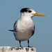Greater Crested Tern - Photo (c) tangatawhenua, some rights reserved (CC BY-NC)