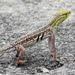 Keeled Earless Lizard - Photo (c) Michael Hawk, some rights reserved (CC BY-NC)