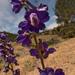 Delphinium uliginosum - Photo (c) John Rusk, algunos derechos reservados (CC BY-NC-SA)
