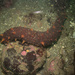 Giant California Sea Cucumber - Photo (c) sea_goin, some rights reserved (CC BY-NC)