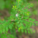 Phyllanthus tenellus - Photo (c) 曾云保,  זכויות יוצרים חלקיות (CC BY-NC)