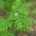 Phyllanthus tenellus - Photo (c) 曾云保, algunos derechos reservados (CC BY-NC)
