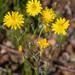 Crepis tectorum - Photo (c) Nikolay V Dorofeev, μερικά δικαιώματα διατηρούνται (CC BY-NC)