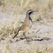 Capped Wheatear - Photo (c) Ian White, some rights reserved (CC BY-NC-SA)