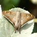 Ectomis octomaculata - Photo (c) Francisco Farriols Sarabia, algunos derechos reservados (CC BY)