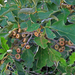 Quercus ilicifolia - Photo (c) sandy richard, μερικά δικαιώματα διατηρούνται (CC BY-NC-SA)