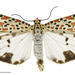 Utetheisa lotrix - Photo (c) Landcare Research New Zealand Ltd., algunos derechos reservados (CC BY)