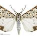 Utetheisa pulchelloides - Photo (c) Landcare Research New Zealand Ltd., algunos derechos reservados (CC BY)