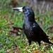 Verdugo Negro - Photo (c) David Cook, algunos derechos reservados (CC BY-NC)