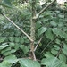 Japanese Angelica Tree - Photo (c) Susan J. Hewitt, some rights reserved (CC BY-NC)