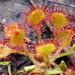 Rocío de Sol - Photo (c) Chris Parker, algunos derechos reservados (CC BY-ND)