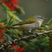 Leiothlypis peregrina - Photo (c) Jerry Oldenettel,  זכויות יוצרים חלקיות (CC BY-SA)