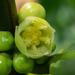 Garcinia subelliptica - Photo (c) 曾云保, algunos derechos reservados (CC BY-NC)