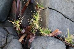 Australian salt-grass