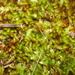 Sematophyllum - Photo (c) Em Lamond, some rights reserved (CC BY-NC)