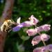 Anthophora pubescens - Photo (c) Roddy Hays, algunos derechos reservados (CC BY-NC)