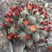 Echinocereus bakeri - Photo (c) Tom Bean, some rights reserved (CC BY-NC)