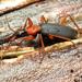 Galerita bicolor - Photo (c) Katja Schulz, algunos derechos reservados (CC BY)