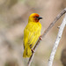 African Golden-Weaver - Photo (c) Peter Steward, some rights reserved (CC BY-NC)