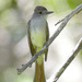 Ash-throated Flycatcher - Photo (c) Len Blumin, some rights reserved (CC BY-NC-ND)