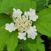 Viburnum opulus americanum - Photo (c) Sherry Punak-Murphy, algunos derechos reservados (CC BY-NC)