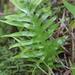 Phymatosorus scolopendria - Photo (c) José Ignacio Márquez Corro,  זכויות יוצרים חלקיות (CC BY-NC)
