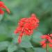 Salvia splendens - Photo (c) José Ignacio Márquez Corro,  זכויות יוצרים חלקיות (CC BY-NC)