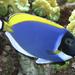 Pez Cirujano Azul Cielo - Photo (c) Brian Gratwicke, algunos derechos reservados (CC BY-NC)