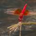 Brachythemis lacustris - Photo (c) lappiesdragonfly, osa oikeuksista pidätetään (CC BY-NC)