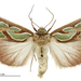 Green-blotched Moth - Photo (c) anonymous, some rights reserved (CC BY)