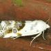 Ponometia candefacta - Photo (c) Monica Krancevic, μερικά δικαιώματα διατηρούνται (CC BY-NC)