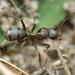 Formica rufibarbis-group - Photo (c) alek-mantis,  זכויות יוצרים חלקיות (CC BY-NC)