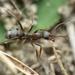 Formica cunicularia - Photo (c) alek-mantis, osa oikeuksista pidätetään (CC BY-NC)