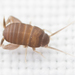Myrmecophilus oregonensis - Photo (c) Thomas Barbin,  זכויות יוצרים חלקיות (CC BY-NC)