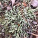 Thorn Lichen - Photo (c) brionnap, some rights reserved (CC BY-NC)