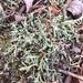 Cladonia uncialis - Photo (c) brionnap, algunos derechos reservados (CC BY-NC)