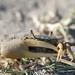 Minuca pugnax - Photo (c) Linda, μερικά δικαιώματα διατηρούνται (CC BY-NC)