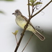 Yellow-bellied Elaenia - Photo (c) Dominic Sherony, some rights reserved (CC BY-SA)