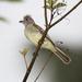 Elaenia flavogaster - Photo (c) Dominic Sherony,  זכויות יוצרים חלקיות (CC BY-SA)